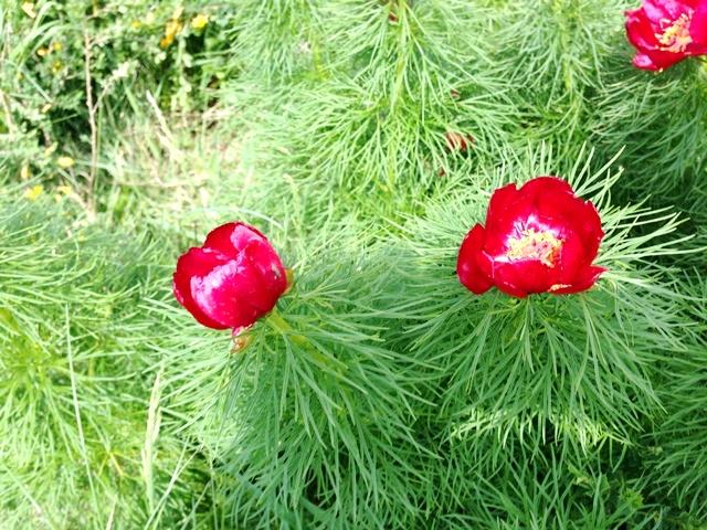 цветы воронцы фото